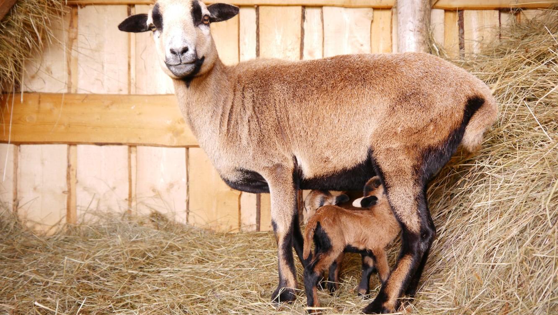 Máme malé ovečky